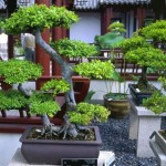 What Are Bonsai Trees?