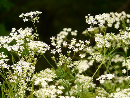 Cow Parsley Chervil
