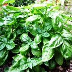 Basil – The King of Herbs